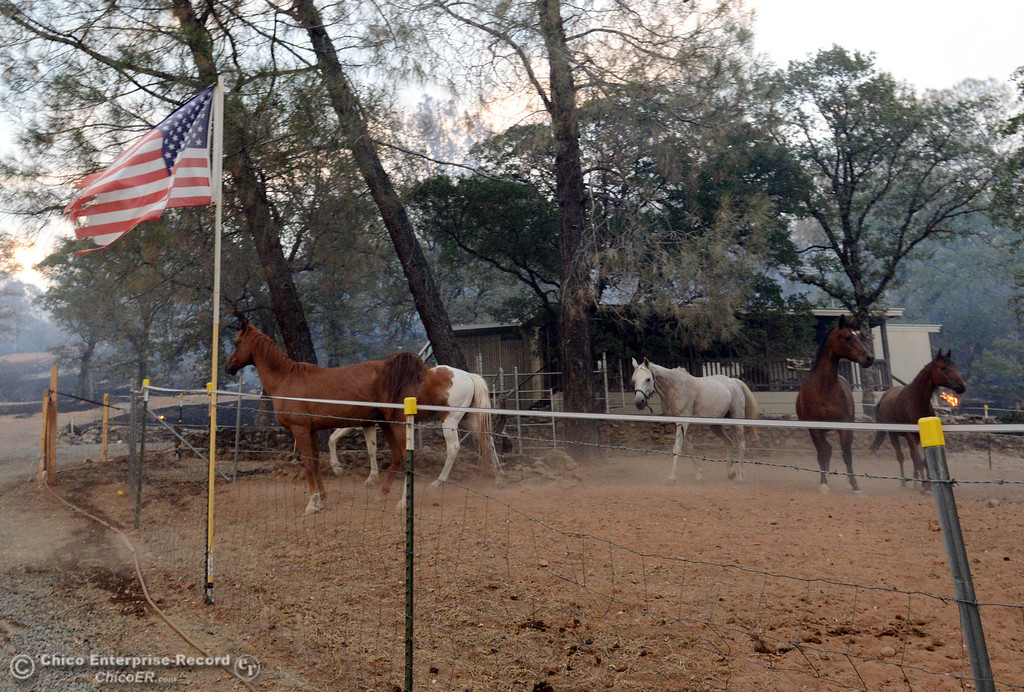 Description of . Horses owned by Glenn Bentley walk through the charred ground that the Swedes Fire burned along Chinese Wall Road in the vicinity of Swedes Flat Road, just east or Oro Bangor Highway Friday, August 16, 2013 in Oroville, Calif. Over 200 acres were burned with at least one structure lost. (Jason Halley/Chico Enterprise-Record)