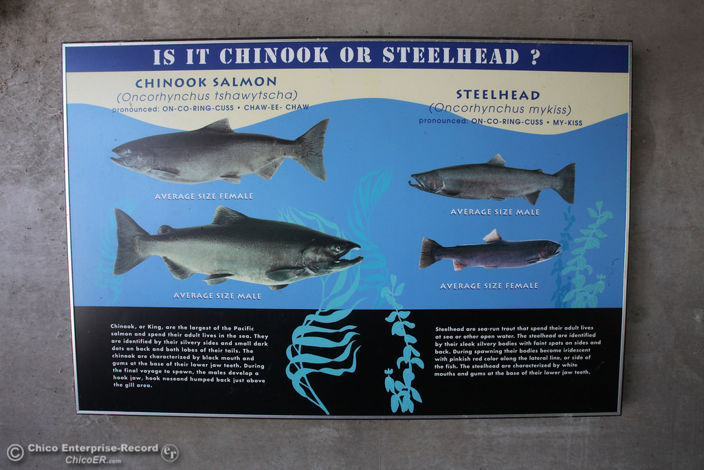 Description of . Chinook or Steelhead? Department of Fish and Wildlife opened the fish ladder in Oroville on Monday, September 16, 2013. Salmon and Steelhead will make their way from the diversion dam into the fish hatchery to spawn. (Frank Rebelo/Staff Photo)