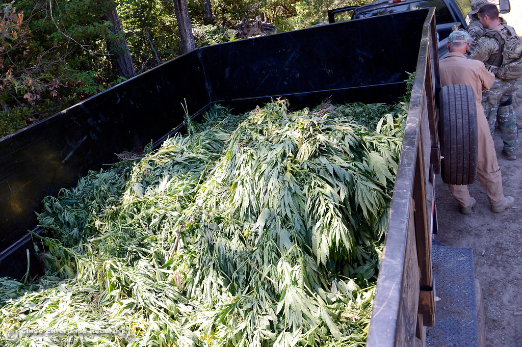 Description of . Marijuana is loaded into a trailer in preparation for disposal after several members of a multi agency Special Enforcement Unit eradicated nearly 7,300 marijuana plants from a remote area in Upper Concow Thursday, Aug. 15, 2013. Two suspects were arrested in the marijuana garden. (Bill Husa/Staff Photo)