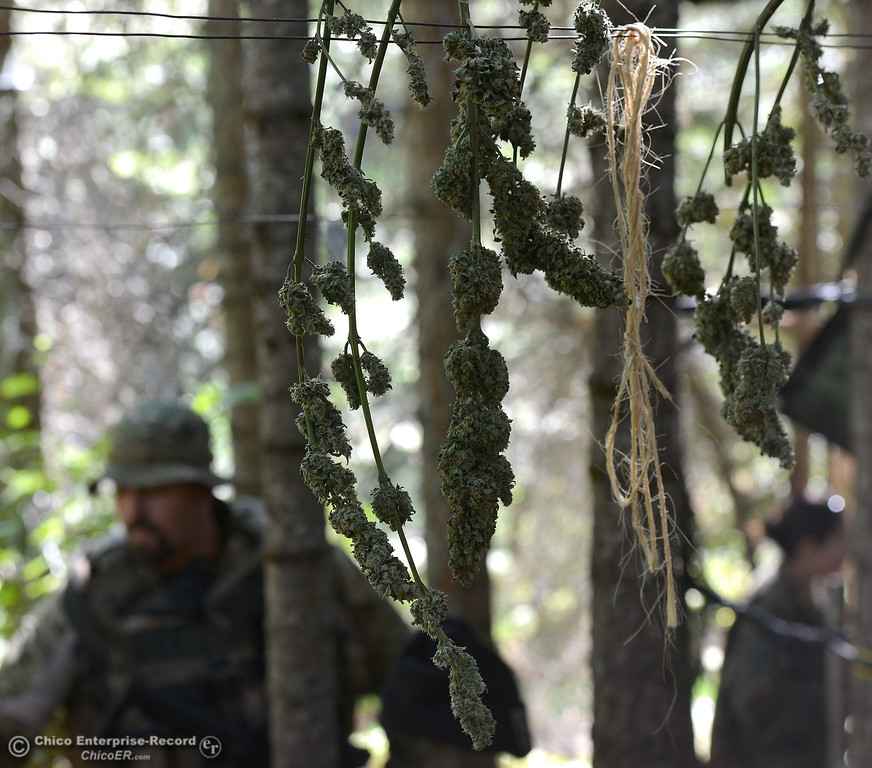 Description of . Marijuana buds are hung on a wire to dry in the main camp as several members of a multi agency Special Enforcement Unit eradicate nearly 7,300 marijuana plants from a remote area in Upper Concow Thursday, Aug. 15, 2013. Two suspects were arrested in the marijuana garden. (Bill Husa/Staff Photo)