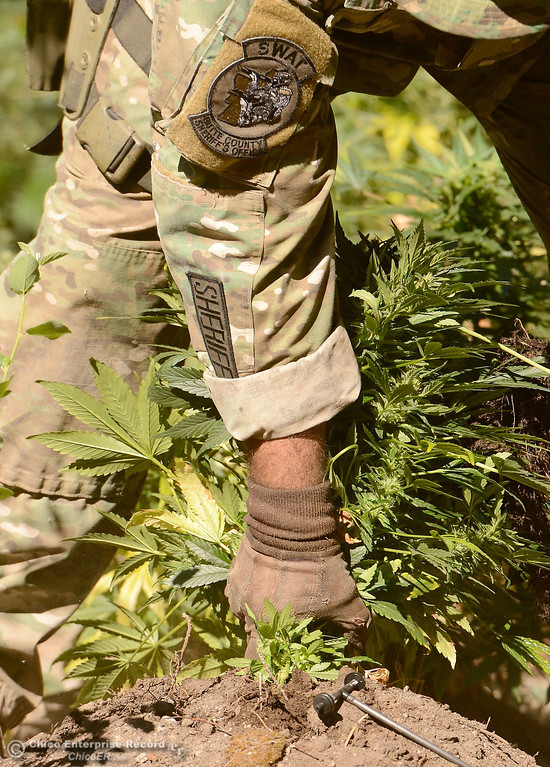 Description of . An officer pulls a plant out of a hole as several members of a multi agency Special Enforcement Unit eradicate nearly 7,300 marijuana plants from a remote area in Upper Concow Thursday, Aug. 15, 2013. Two suspects were arrested in the marijuana garden. (Bill Husa/Staff Photo)