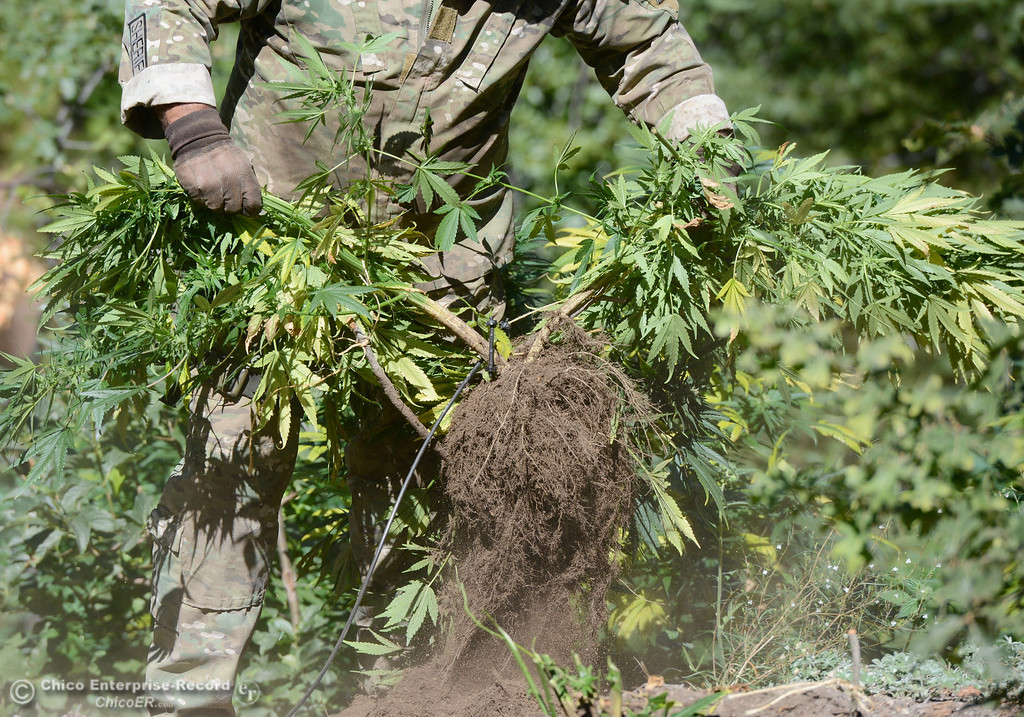 Description of . An officer shakes the dirt off of the roots as several members of a multi agency Special Enforcement Unit eradicate nearly 7,300 marijuana plants from a remote area in Upper Concow Thursday, Aug. 15, 2013. Two suspects were arrested in the marijuana garden. (Bill Husa/Staff Photo)