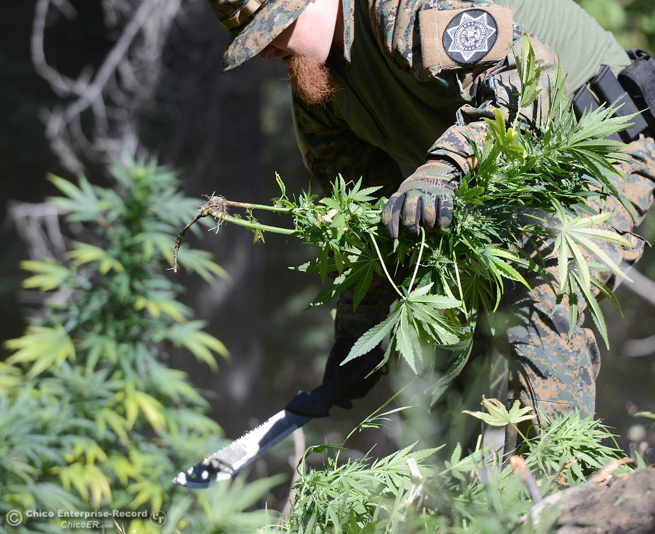 Description of . Several members of a multi agency Special Enforcement Unit eradicate nearly 7,300 marijuana plants from a remote area in Upper Concow Thursday, Aug. 15, 2013. Two suspects were arrested in the marijuana garden. (Bill Husa/Staff Photo)