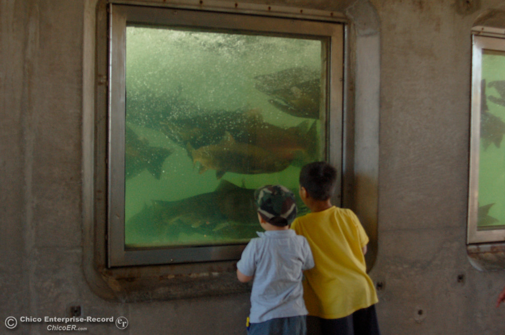 . Timmy Johnston, 3, and Ami Johnston, 5, check out the salmon in the fish ladder observation area. The Salmon Festival in Oroville on Saturday, Sept. 28, 2013, celebrated the lifecycle of chinook salmon as the fish returned from the Pacific Ocean to the Feather River Fish Hatchery. (Dan Reidel/Staff Photos)
