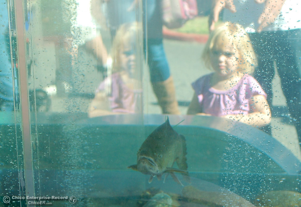 . Iyree Reynolds, 2, of Yuba City gazes on a steelhead in a fish display during the Salmon Festival held Saturday at the Feather River Fish Hatchery in Oroville. (Dan Reidel/ Staff Writer)