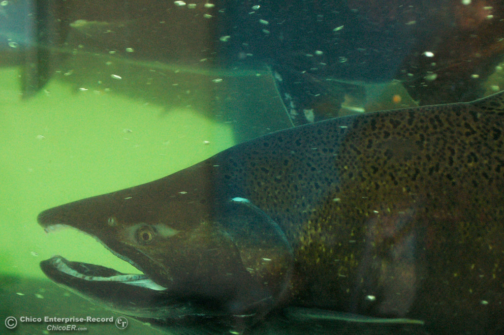 . A male chinook salmon in the Feather River Fish Hatchery\'s fish ladder viewing station on Saturday, Sept. 28, 2013, during the salmon festival. (Dan Reidel/ Staff Writer)
