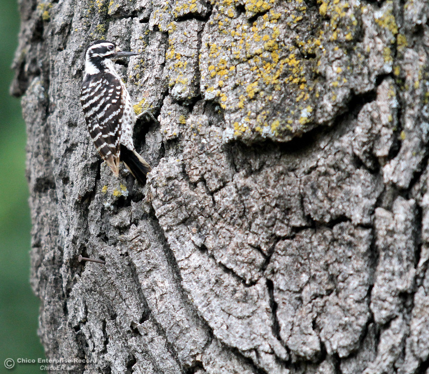 Description of . The natural colors of a baby woodpecker blend in nicely with an oak tree in lower Bidwell Park on May 6, 2013. (Bill Husa/Staff Photo)