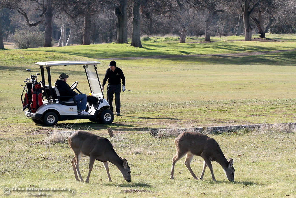 Description of . Deer munch on grass at the Bidwell Municipal Golf Course as they seem oblivious to golfers playing through on January 15, 2013. (Bill Husa/Chico Enterprise-Record)