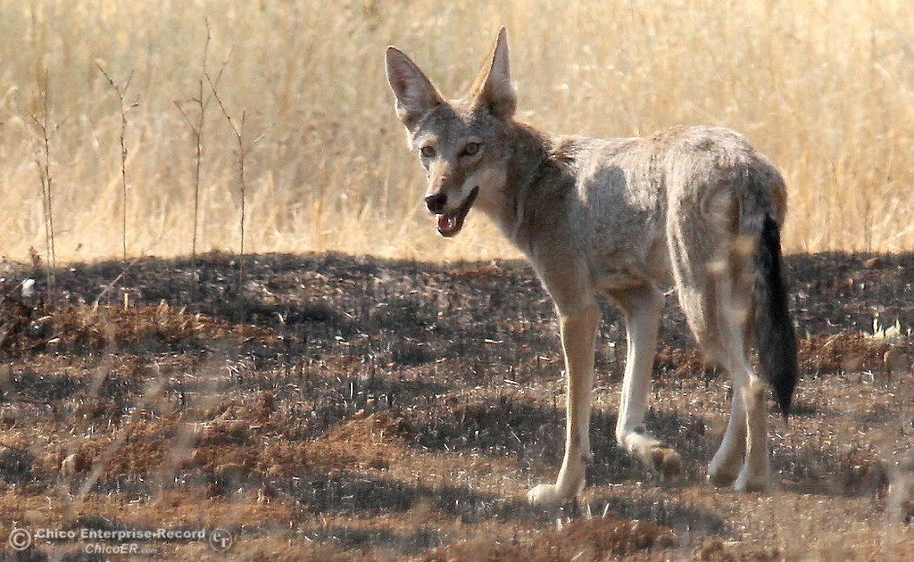 Description of . A coyote wanders through a recent burn in upper Bidwell Park on August 10, 2012.  (Bill Husa/Chico Enterprise-Record)