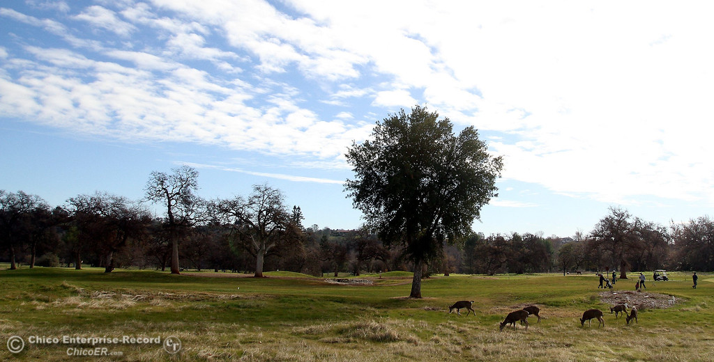 Description of . Deer graze while golfers enjoy a round beneath a partly cloudy sky at Bidwell Municipal Golf Course in upper Bidwell Park on January 3, 2013.  (Bill Husa/Chico Enterprise-Record)