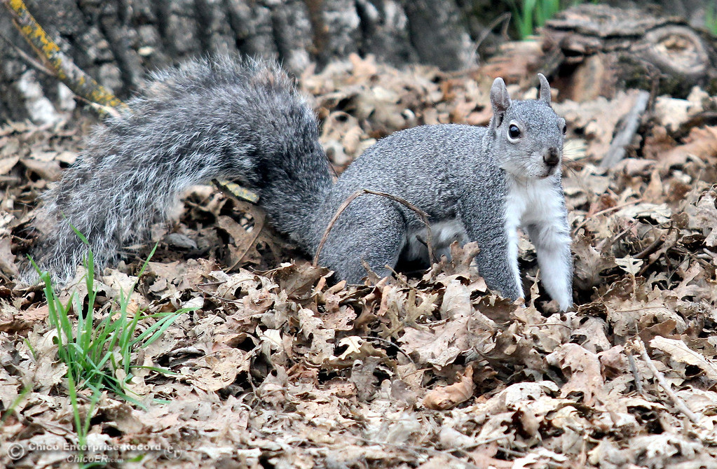 Description of . A squirrel looks for food in a pile of leaves at Sycamore Pool in One Mile Recreation Area of lower Bidwell Park on February 18, 2013. (Bill Husa/Chico Enterprise-Record)