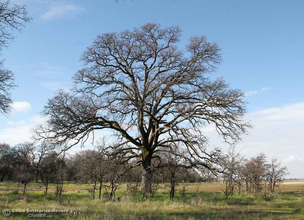 Description of . A big Valley Oak tree towers above seedlings in upper Bidwell Park on January 25, 2013. (Bill Husa/Chico Enterprise-Record)