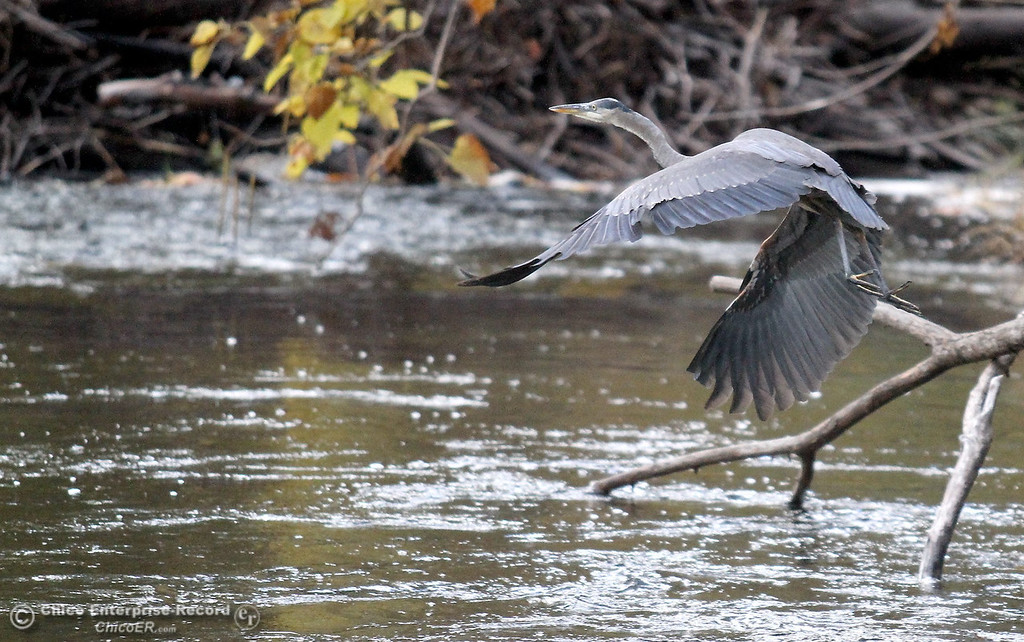 Description of . A blue heron takes flight along Big Chico Creek in lower Bidwell Park on November 1, 2012.  (Bill Husa/Chico Enterprise-Record)