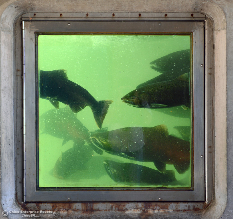 . Salmon swim in the viewing area in the fish ladder at the Feather River Fish Hatchery Wednesday, September 25, 2013, in Oroville, Calif. This weekend, The Salmon Festival comes to Oroville.  (Jason Halley/Chico Enterprise-Record)