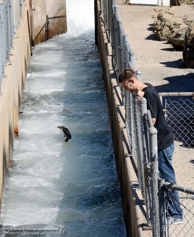 . Deric Strick, of Durham, looks at the salmon that were jumping up the fish ladder at the Feather River Fish Hatchery Wednesday, September 25, 2013, in Oroville, Calif. This weekend, The Salmon Festival comes to Oroville.  (Jason Halley/Chico Enterprise-Record)