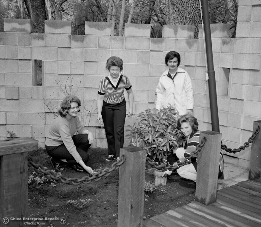 . Four women plant a tree for Arbor Day at the entrance of Caper Acres on Mar 11, 1965. (Chico Enterprise-Record file photo)
