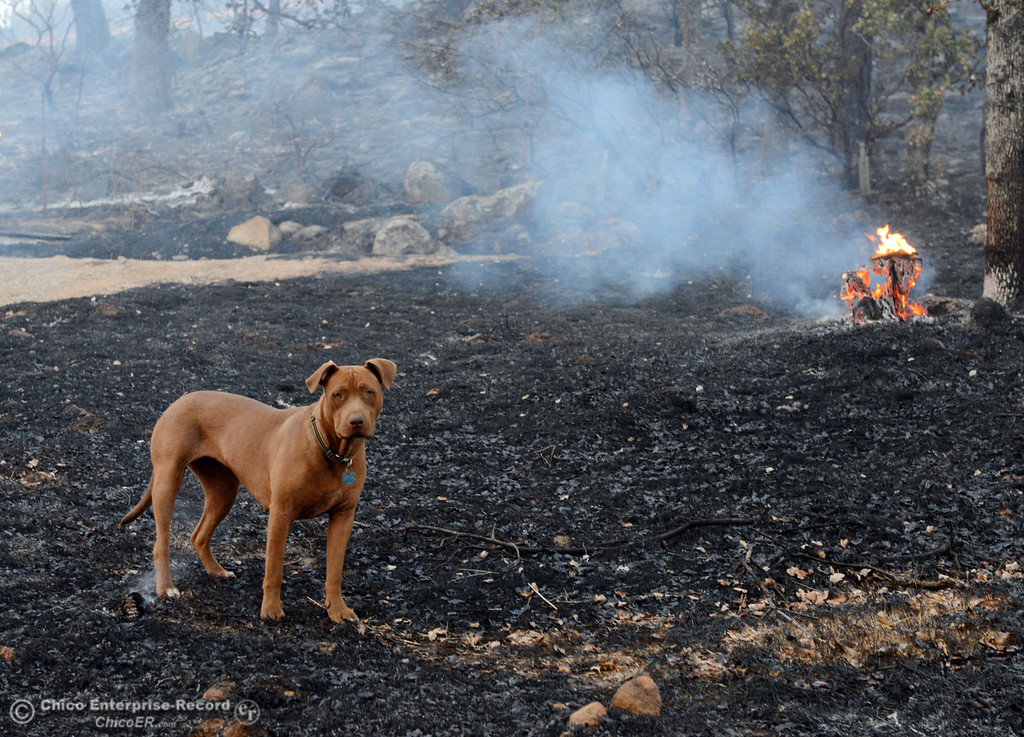 . A dog owned by Glenn Bentley walks through the charred ground that the Swedes Fire burned along Chinese Wall Road in the vicinity of Swedes Flat Road, just east or Oro Bangor Highway Friday, August 16, 2013 in Oroville, Calif. Over 200 acres were burned with at least one structure lost. (Jason Halley/Chico Enterprise-Record)