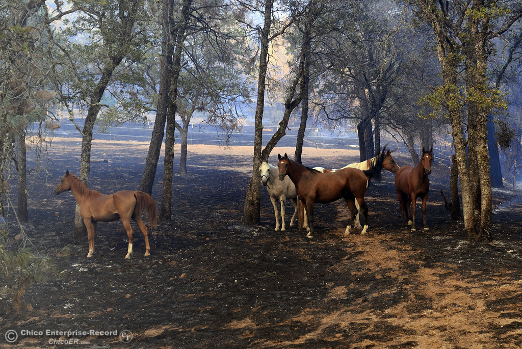 . Horses owned by Glenn Bentley walk through the charred ground that the Swedes Fire burned along Chinese Wall Road in the vicinity of Swedes Flat Road, just east or Oro Bangor Highway Friday, August 16, 2013 in Oroville, Calif. Over 200 acres were burned with at least one structure lost. (Jason Halley/Chico Enterprise-Record)