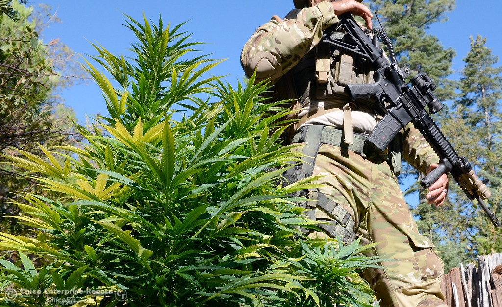 . Several members of a multi agency Special Enforcement Unit eradicate nearly 7,300 marijuana plants from a remote area in Upper Concow Thursday, Aug. 15, 2013. Two suspects were arrested in the marijuana garden. (Bill Husa/Staff Photo)
