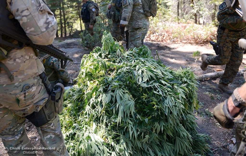 . Bundles of marijuana are hauled out by helicopter as several members of a multi agency Special Enforcement Unit eradicate nearly 7,300 marijuana plants from a remote area in Upper Concow Thursday, Aug. 15, 2013. Two suspects were arrested in the marijuana garden. (Bill Husa/Staff Photo)