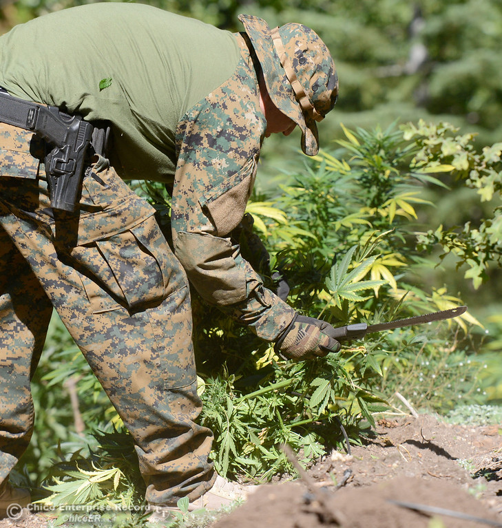 . An officer uses a machete to cut down plants as several members of a multi agency Special Enforcement Unit eradicate nearly 7,300 marijuana plants from a remote area in Upper Concow Thursday, Aug. 15, 2013. Two suspects were arrested in the marijuana garden. (Bill Husa/Staff Photo)