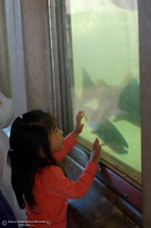 . Three-year-old Cali Knutson looks at chinook salmon up close at the Feather River Fish Hatchery\'s underwater viewing station in Oroville during the Salmon Festival on Saturday, Sept. 29, 2013. (Dan Reidel/Staff Writer)