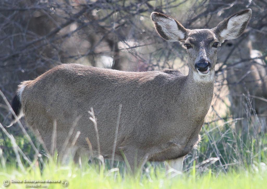 . A deer grazes near the Bidwell Municipal golf course in upper Bidwell Park on March 1, 2013. (Bill Husa/Chico Enterprise-Record)