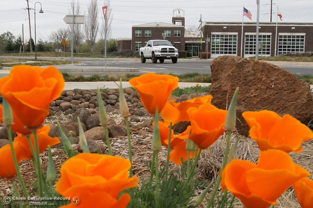 . California poppies bloom near the entrance to upper Bidwell Park on March 19, 2013. (Bill Husa/Staff Photo)