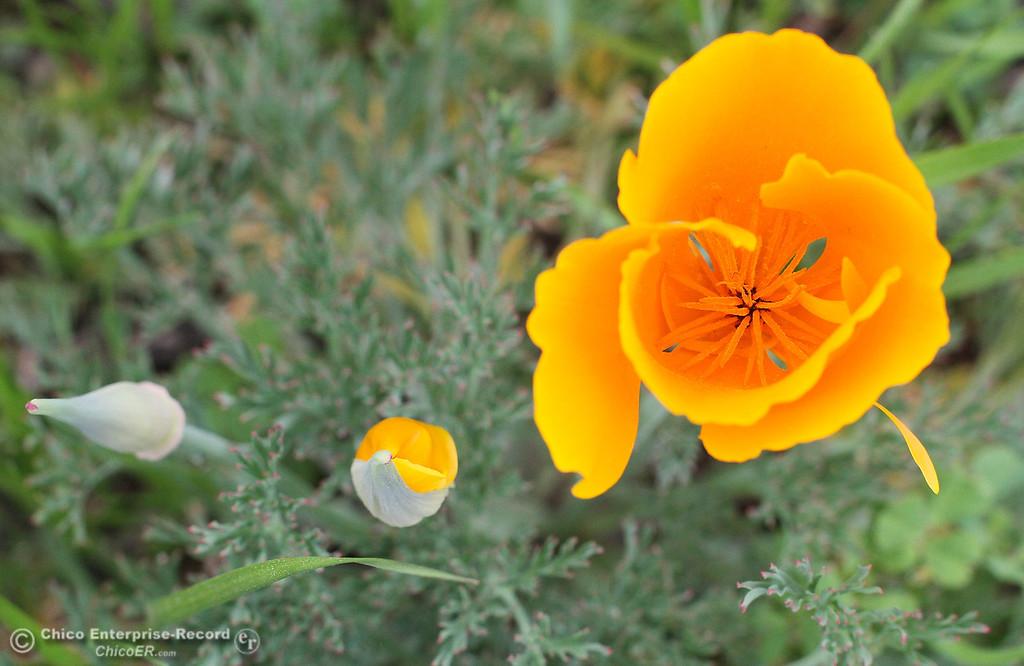 . Wildflowers bloom near the in upper Bidwell Park on March 19, 2013. (Bill Husa/Staff Photo)