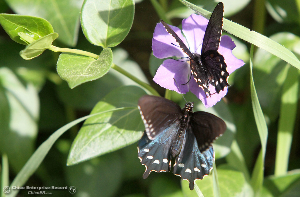 . A couple of butterflies enjoy a flower in lower Bidwell Park on March 25, 2013. (Bill Husa/Staff Photo)
