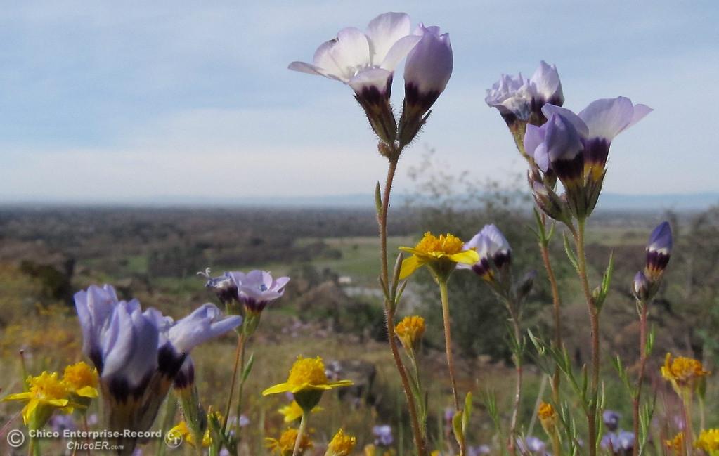 . Wildflowers bloom in upper Bidwell Park on March 5, 2013. (Bill Husa/Staff Photo)