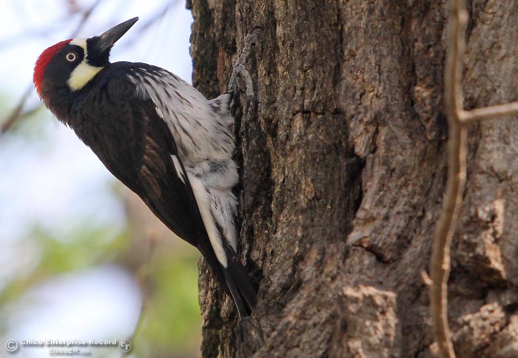 . A woodpecker works on a tree in lower Bidwell Park on March 18, 2013. (Bill Husa/Staff Photo)