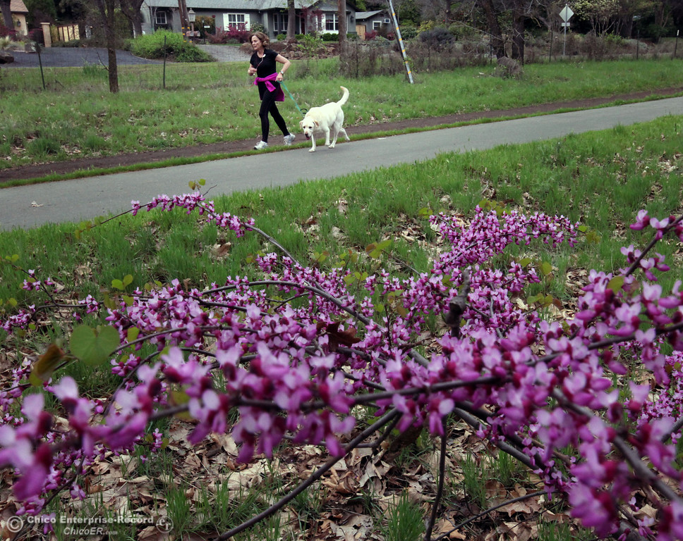 """. Susie Borzage runs with her yellow lab \""""Baloo\"""" along a trail past redbud trees that bloom on the first day of Spring in lower Bidwell Park on March 20, 2013 in Chico, Calif. \""""It\'s wonderful running weather.\"""" said Borzage.  (Jason Halley/Chico Enterprise-Record)"""