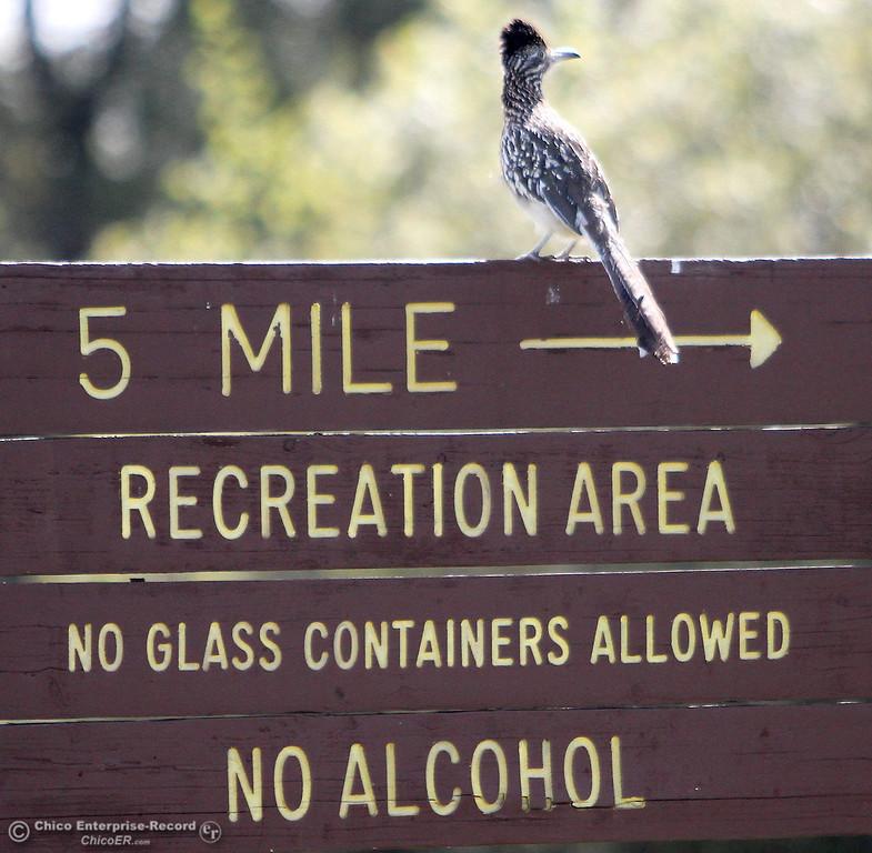 . A grateful roadrunner sits on the 5 Mile sign in upper Bidwell Park on March 26, 2013.  (Bill Husa/Staff Photo)
