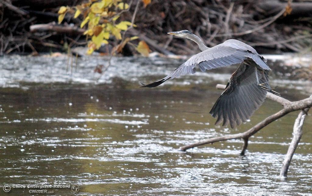 . A blue heron takes flight along Big Chico Creek in lower Bidwell Park on November 1, 2012.  (Bill Husa/Chico Enterprise-Record)