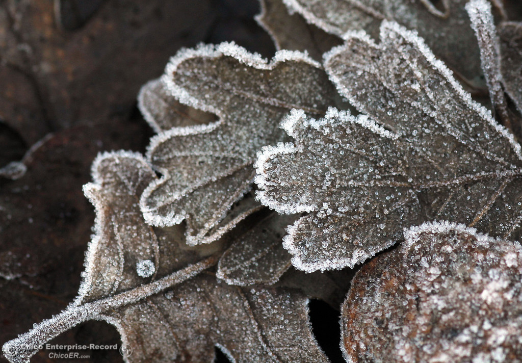 . Cold temperatures brought a small layer of frost into a leaves at Sycamore Field at One Mile Recreation Area in lower Bidwell Park on December 27, 2012 in Chico, Calif. (Jason Halley/Enterprise-Record)
