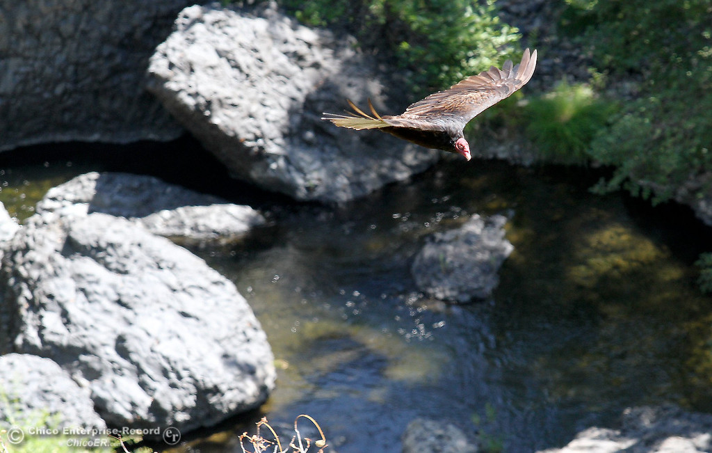 . A turkey vulture soars above Big Chico Creek in upper Bidwell Park on July 27, 2012. (Bill Husa/Chico Enterprise-Record)