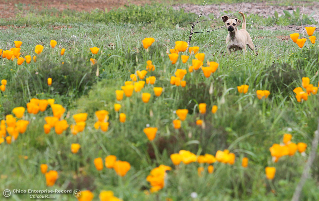 . A small dog guards a patch of poppies near the entrance to upper Bidwell Park on March 19, 2013. (Bill Husa/Staff Photo)