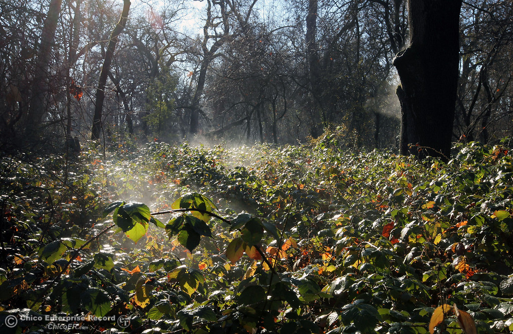 . Steam from plants defrosting rises as cold temperatures brought a small layer of frost into lower Bidwell Park on December 27, 2012 in Chico, Calif. (Jason Halley/Enterprise-Record)