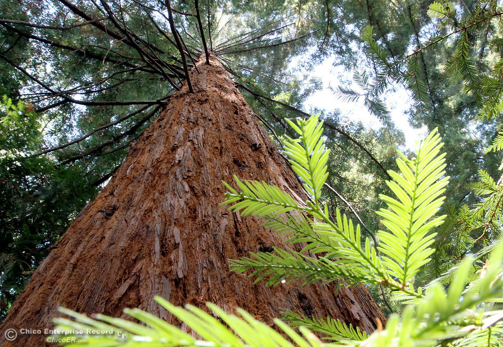 . A plaque marks Lester Olsen\'s Children, an old growth stand of redwood trees in Bidwell Park on July 26, 2012. (Bill Husa/Chico Enterprise-Record)