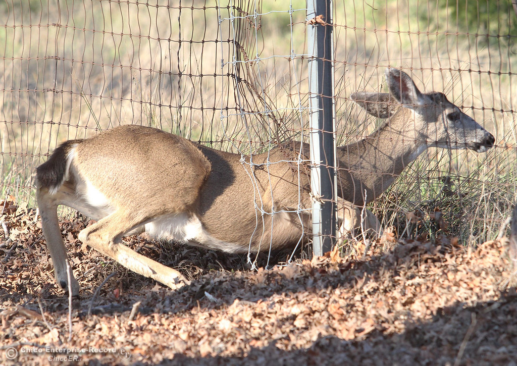 . A deer trotted sneaks under a fence for the old deer pens in lower Bidwell Park near East 8th Street on February 13, 2013. (Ty Barbour/Chico Enterprise-Record)